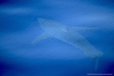 Witte haai gespot bij Mallorca
