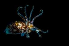 John Landa – Een schitterende sepiola