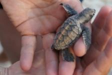 Zeeschildpadden helpen op Barbados