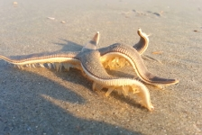 Zeester maakt strandwandeling
