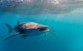 Joost Boerman - Zwemmen met de vriendelijke reus