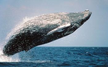 Nieuwe satelliet telt walvissen