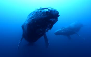 In beeld: walvismoeder rouwt om kind
