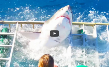In beeld: Witte haai belandt in kooi...
