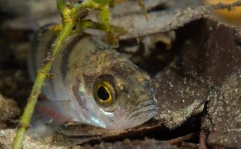 Mannelijke zoetwatervissen krijgen vrouwelijke trekjes
