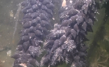 Hoe lang duurt het voordat een sepia-ei uitkomt?