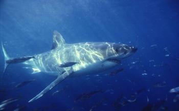 Haaienstrategie