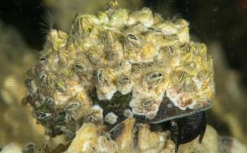John Landa - Zeepokken op een alikruik