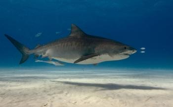 Ga mee naar Tiger Beach en duik tussen de haaien