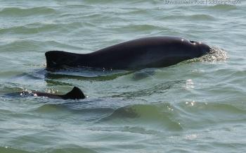 Steeds meer bekend over leven van bruinvis in Oosterschelde