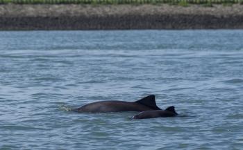 Eerste bruinviskalf van dit jaar gespot in Oosterschelde
