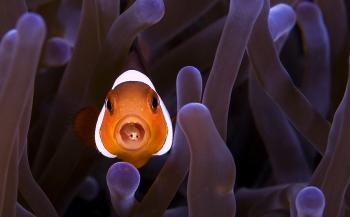 Clownvis met parasiet - Het verhaal achter de foto