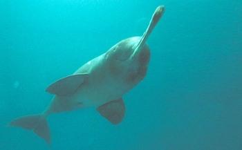 Fossiel van onbekende dolfijnensoort ontdekt