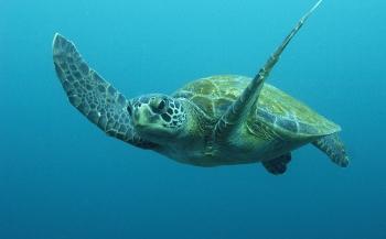 Populatie zeeschildpadden dreigt vrouwelijk te worden