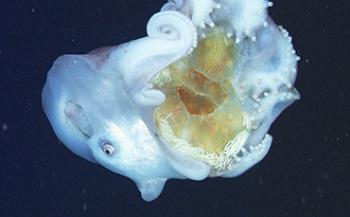 Etende zevenarmige octopus voor het eerst in beeld
