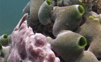 Roel Roeten - 4x Frogfish in Kenia