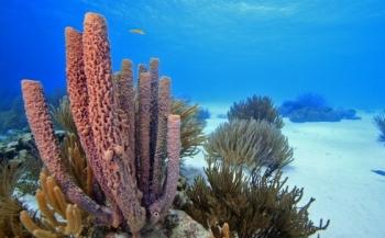 Nederlandse koraalriffen dreigen te verdwijnen