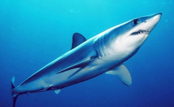 Nieuwe bedreigde haaien- en roggensoorten op CITES-lijst