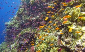 Reportagewedstrijd - Een explosie van zachte koralen in Fiji