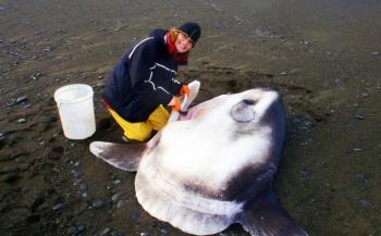 Nieuwe soort maanvis ontdekt in Stille Oceaan
