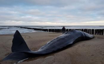 Waarom stranden walvissen?