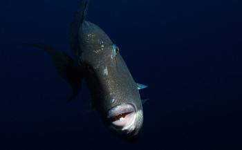 Ruth Teerlynck - Close encounter met grijze trekkervissen