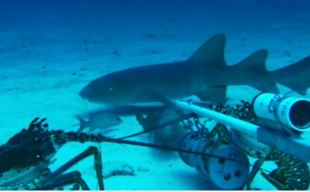 In beeld: haai versus kreeften - wie wint?