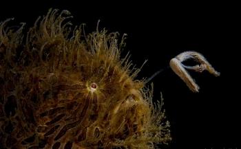 Hairy frogfish met backlight - Het verhaal achter de foto