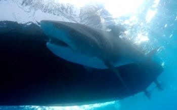 Tentoonstelling over haaienbescherming op Duikvaker 2018