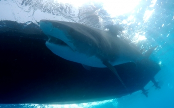 Haai Quinty zwemt 1200 kilometer