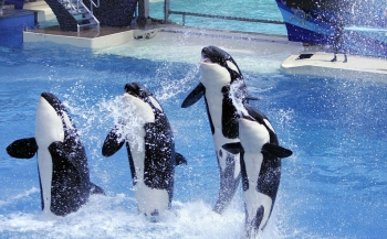 SeaWorld stopt met fokken van orka's