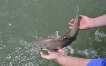 Volop haaien en roggen voor de monding van de Oosterschelde