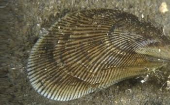 Onbekende mosselsoort ontdekt in Noordzeekanaal