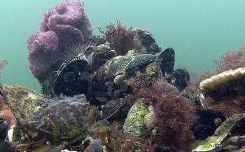 Duizenden oesters uitgezet op wrak in Noordzee