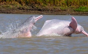 Rivierdolfijnen in Peru voor het eerst van zender voorzien