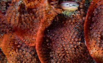Bloedrode exoot ontdekt in het Grevelingenmeer