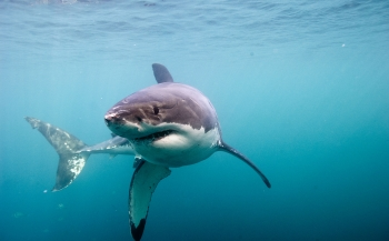 Great White Shark - nu in het Omniversum