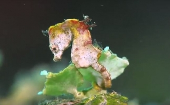 Seahorses of the World - de winnende film van de Guylian wedstrijd
