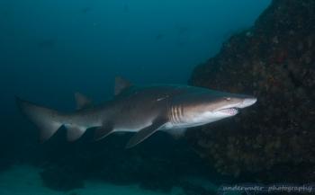 Aike Willemsen- Duiken tussen de ragged tooth sharks