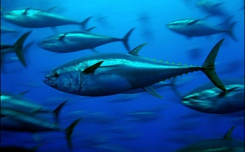 Grootste Europese vissoorten dreigen uit te sterven