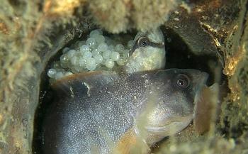 Unieke filmbeelden: de geboorte van een botervis