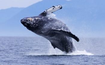 Bijzondere samenscholingen walvissen geregistreerd