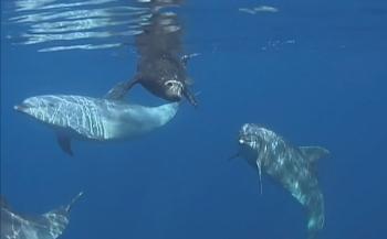 Dolfijnen helpen zeehondenpup