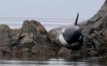 Vrijwilligers redden orka