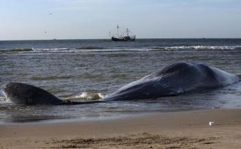 Vijf potvissen gestrand bij Texel