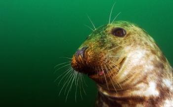 Opzienbarend gedrag van jonge grijze zeehond in Oosterschelde