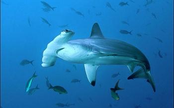 Nederland speelt leidende rol bij bescherming van Caribische haaien
