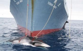 Japan toch weer op walvisjacht
