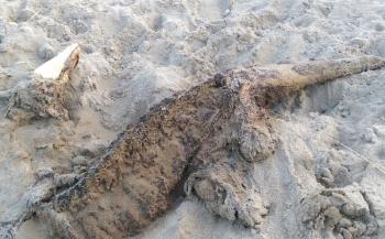 Krokodil op Zeeuws strand?