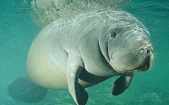 In beeld: Manatees in Florida